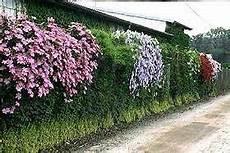 kletterpflanze schatten immergrün shade vines zone 4 bushy flowering shade vines plants