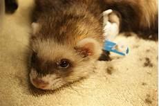 ferret vet clinic in perth melbourne the unusual pet vets