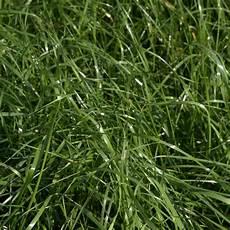 gras für garten bastardweidelgras lolium hybridum
