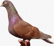 Tips Cara Merawat Burung Merpati Balap Bunyi Nyaring Gacor