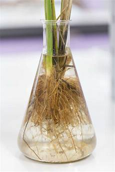 kirschlorbeer vermehren tipps anleitung vom profi