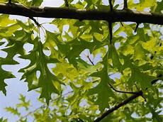 pflanzen niedrigere klassifizierungen ahorn niedrigere klassifizierungen ahorne