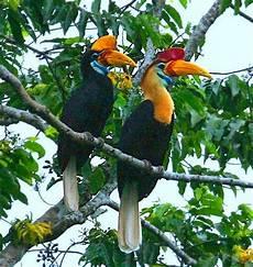 Gambar Mengenai Burung Rangkong Indonesia Habitat Sulawesi
