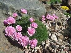 Swedish Rock Garden Hardy Alpine Succulents Other