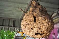 wespennest entfernen lassen 187 welche kosten entstehen