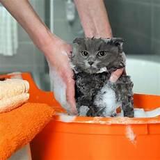produit anti puce chaton quel antipuce choisir pour un chaton de deux mois