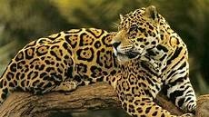 great news the jaguar population has increased by 20 in the last 8 years