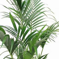 kentia palme howea forsteriana pflege 123zimmerpflanzen