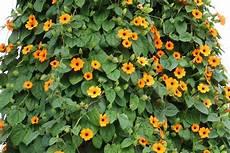 Einj 228 Hrige Kletterpflanzen 15 Schnellwachsende Und