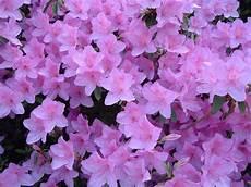 fiori azalee amuleti fiori e piante portafortuna mamma di