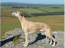 Whippet Dog Breed Information, Buying Advice, Photos and