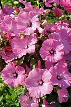 Blumen Sonniger Standort - sommerblumen im staudenbeet gartenzauber