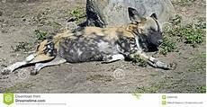 afrikanischer jagdhund 2 stockfoto bild gef 228 hrlich
