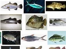 Jenis Ikan Air Payau Dan Gambarnya Beserta Keterangannya