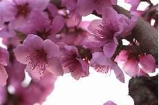 fiori di rosa fiori di pesco flora e fiori by mastro78 juzaphoto