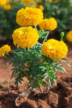tagete fiore garden therapy marigold beautiful