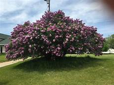 lilac tree largest lilac tree in michigan ask an expert