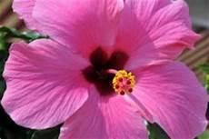 hibiskus hochstamm schneiden hibiskus schneiden 187 wann wie macht das