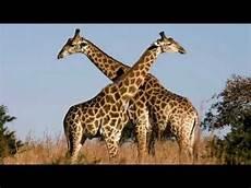 die giraffe steckbrief 252 ber die giraffe tragzeit giraffe