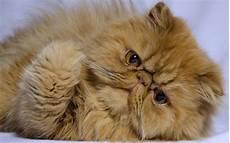 immagini di gatti persiani il gatto persiano il pelo lungo per eccellenza animali