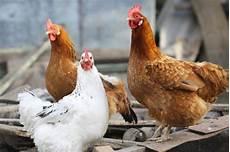 galline da cortile galline divertenti su di cortile immagine stock immagine