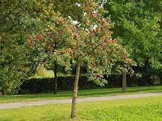 Kleinb 228 Ume Der Kleinbaum