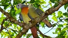 Suara Burung Punai Untuk Pikat Berbagai Suara
