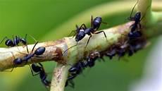 Ameisen Mit Backpulver Bek 228 Mpfen So Funktioniert S