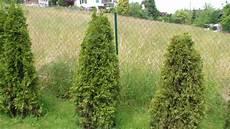 Thuja Hecke Pflanzen Umpflanzen