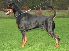 Dobermann   Hond te KoopHond te Koop