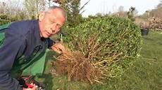 buchsbaum buxus umpflanzen