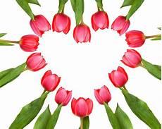 blumen herz aus tulpen tulpenherz lizenzfreie fotos