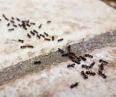 ameisen in der wohnung bekämpfen ameisen im haus bek 228 mpfen so geht es richtig haushalt