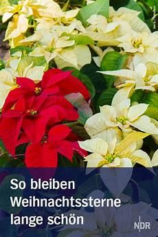 weihnachtsstern pflege im sommer weihnachtsstern im sommer und winter pflegen pflanzen