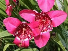 fiori bulbo fiori da bulbo bulbi fiori da bulbo caratteristiche