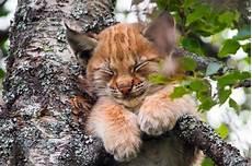 La Sieste En Altitude Du Petit Lynx