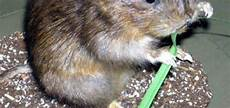 Comment Eloigner Les Rats Du Jardin Taupier Sur La