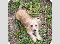Shadow   Adopted Puppy   Largo, FL   Westie, West Highland