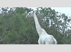 white giraffes recently discovered