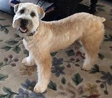 haircuts for wheaten terriers pin on wheaten world