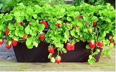 Gardening Strawberries by How To Grow Strawberries How To Grow Foods