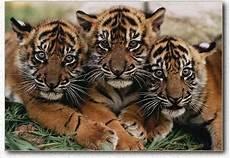 Foto Harimau Sumatera Ocim Berita Terbaru Dan Hiburan