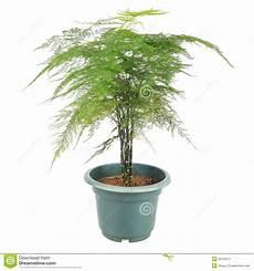 pflanzen dunkle räume asparagus fern stock image image of houseplant asparagus