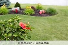 hibiskus strauch schneiden hibiskusbaum pflege und schneiden des hibiskusstamms