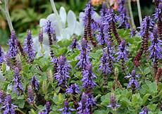 plectranthus neochilus buy at s annuals
