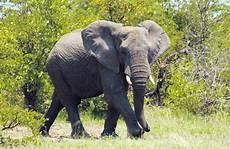 Malvorlage Afrikanischer Elefant Afrikanischer Elefant Tier Lexikon Wiki Fandom Powered