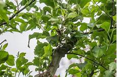 krankheiten schwarze bl 228 tter am apfelbaum garten