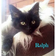 ragdoll mix ragdoll mix kittens ragdoll mix cat in vic petrescue