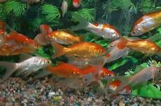 koi carp fish rs 30 hiran fish aquarium