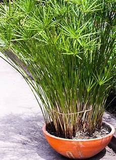 papyrus pflanze im topf pflanzen vermehrung pflanzen